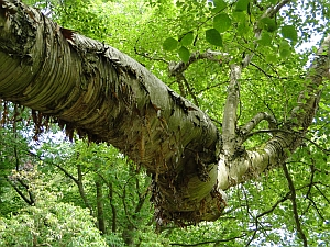 Betula ermanii bark and branch