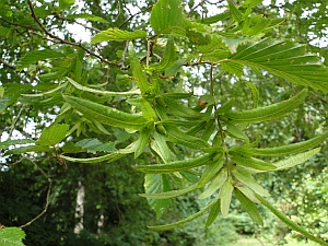 Carpinus betulus bracts