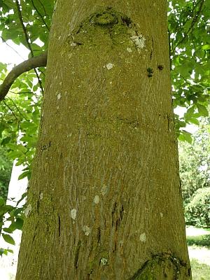 Carya bark