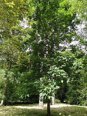 Carya tree