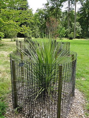Cordyline australis at Westonbirt