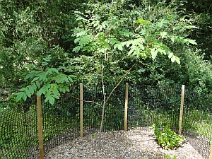 Griselinia racemosa