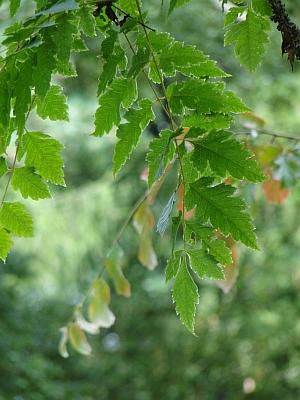 Koelreuteria paniculata leaves