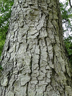 Lophozonia obliqua bark