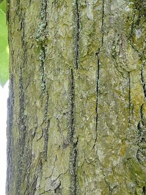 Populus lasiocarpa bark
