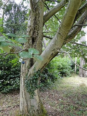 Sorbus thibetica