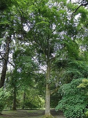 Tilia oliveri tree