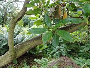 Arbutus unedo, strawberry plant leaves