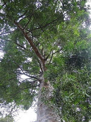 Agathis robusta view up to crown