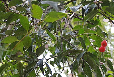 Syzygium luehmannii leaves and berries