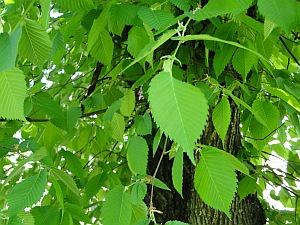 leaves of an elm