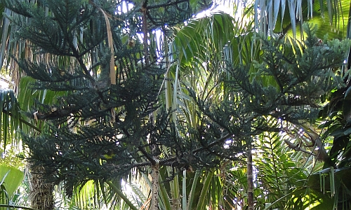 Araucaria cunninghamii branches and leaves