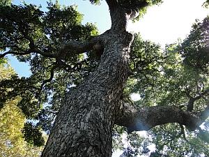 Toona ciliata bark and trunk